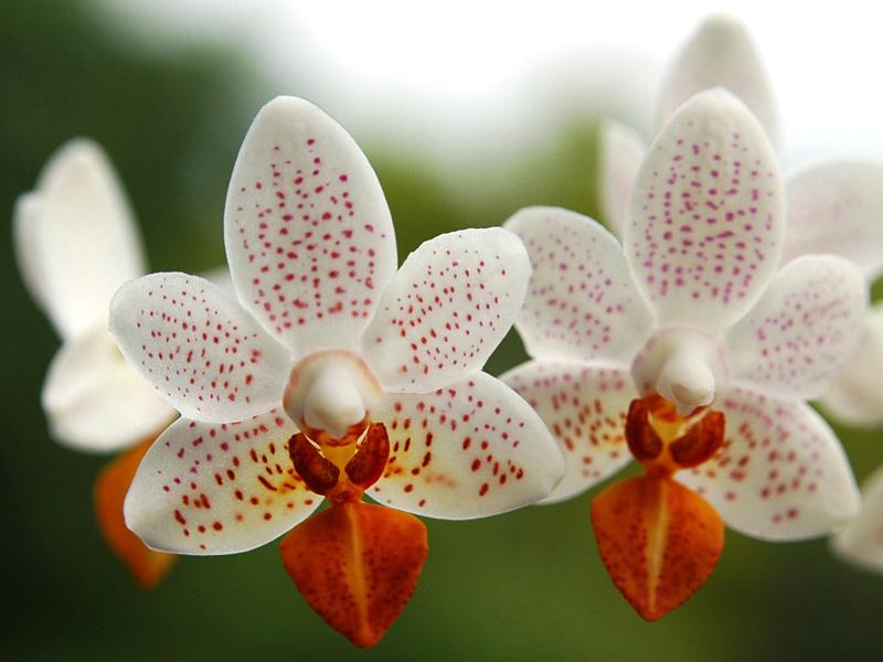 orchideen phalaenopsis pflege pflegeanleitung. Black Bedroom Furniture Sets. Home Design Ideas